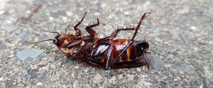 Kackerlacksbete för ovetande konsumenter
